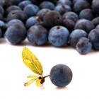 PerfumersApprentice - Blueberry (wild) - 10ml